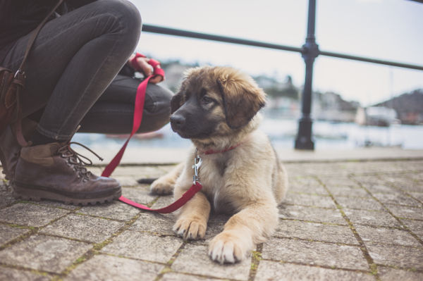 A cute Leonberger puppy and it's owner by the harbour